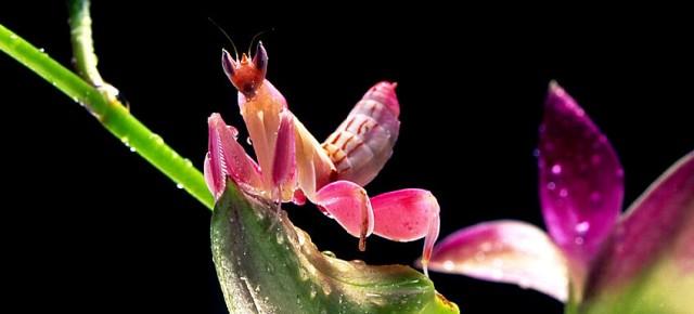 orchid mantis 2