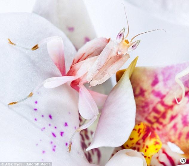 orchid mantis 3