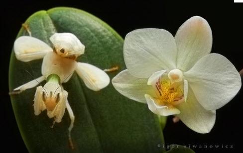 orchid mantis 4