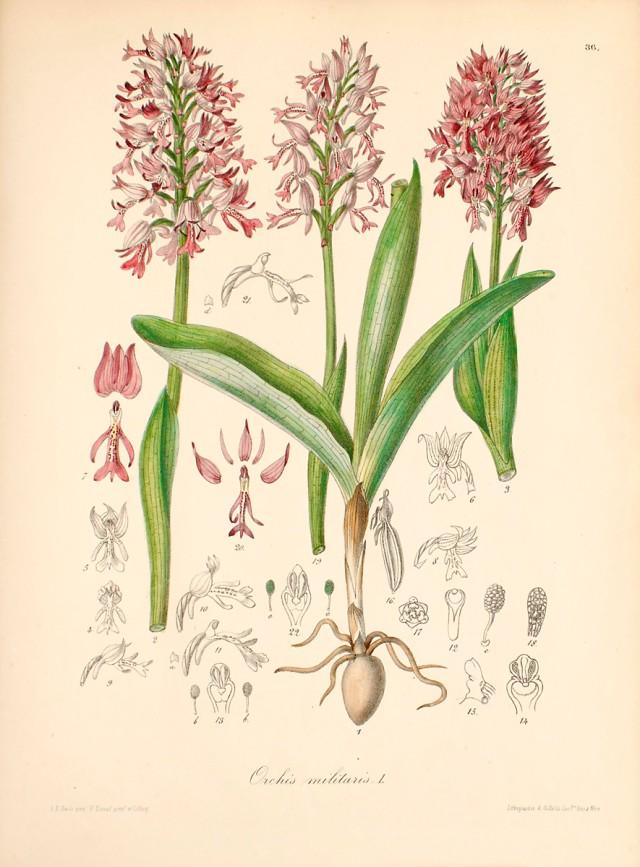 orchid militaris