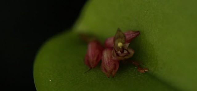 pleurothallis