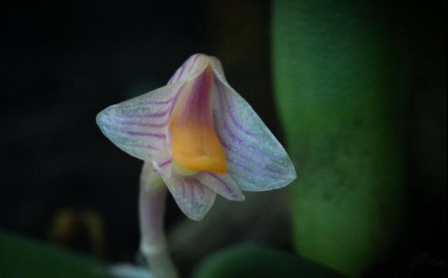 Dendrobium lichenastrum var prentice 2i