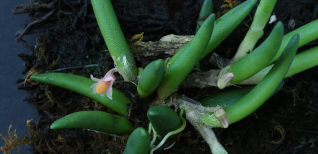 Dendrobium lichenastrum var prentice 3