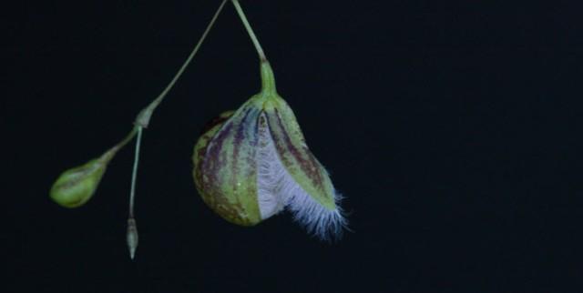 Pleurothalis cypripedioideae profile
