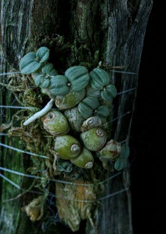 Constantia cipoensis