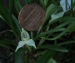Dryadella albicans peny