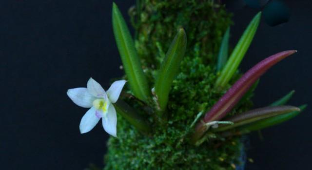 leptote pauloensis full
