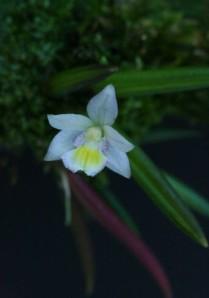 leptote pauloensis