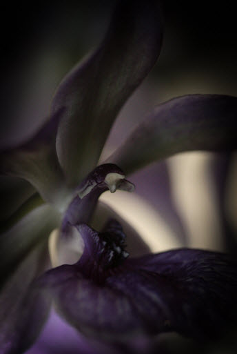 orchid purple 2