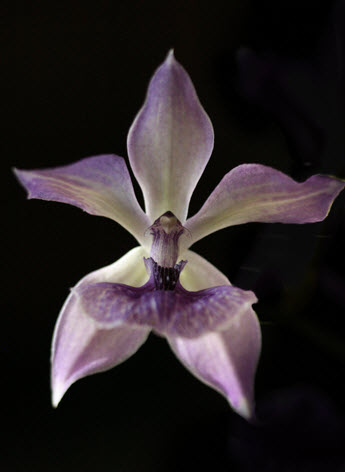 orchid purple