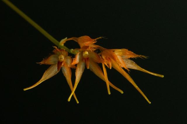 2017-february-bulbophyllum-taiwanense-4281