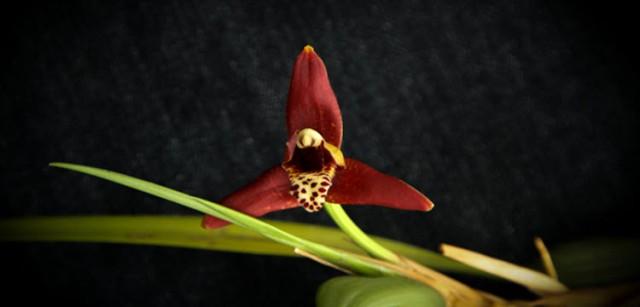 maxillaria 2