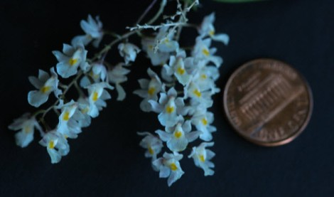 orchid white coin