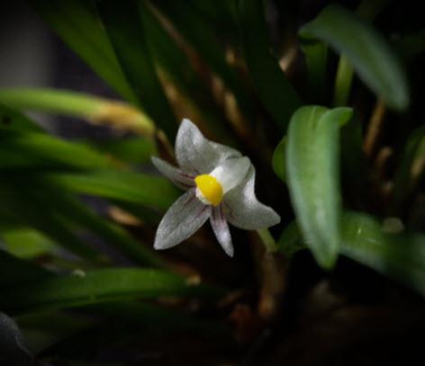 Ceratostylis pleurothallis sp mini Cambodia 1