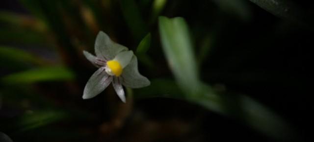Ceratostylis pleurothallis sp mini Cambodia