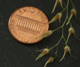 pleurothallis picta penny