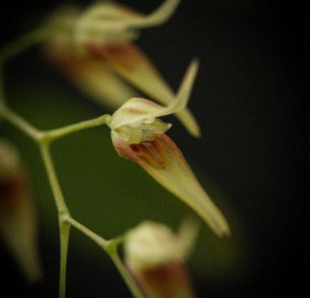 pleurothallis picta zoom