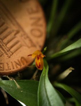 pleurothallis rubella penny