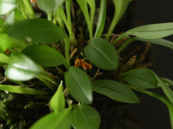 pleurothallis rubella zoom 1