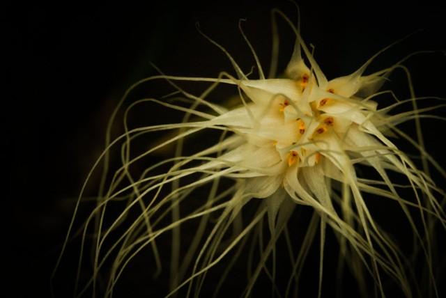 bulbo medusa 1