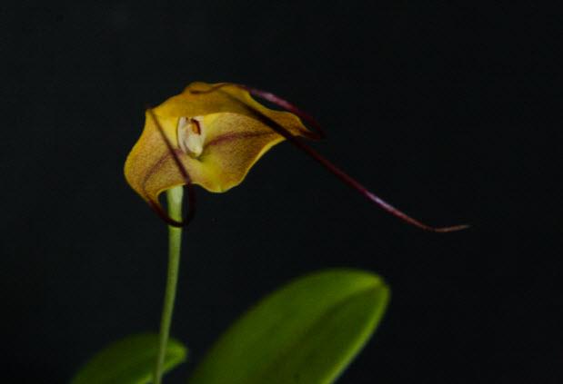 masdevallia tringularis
