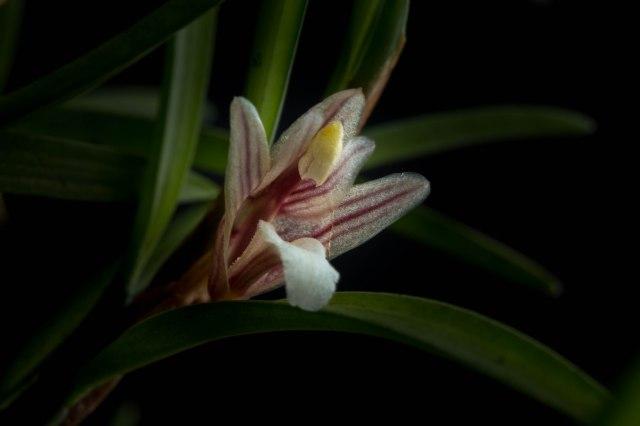 Maxillaria uncata-1208