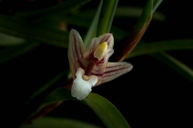 Maxillaria uncata-1211