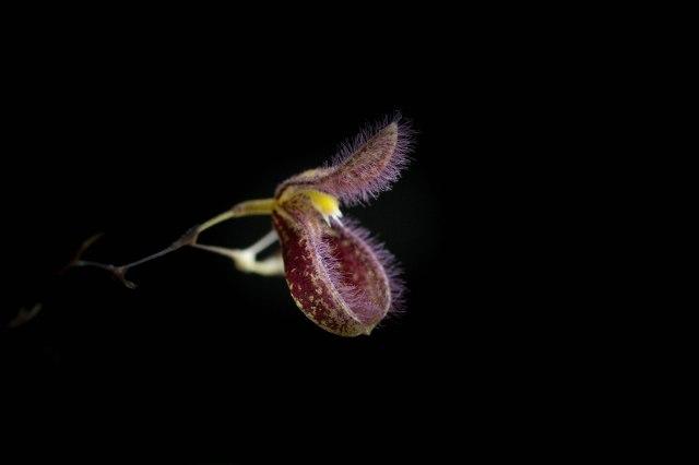 Pleurothallis cypripedioides-1185
