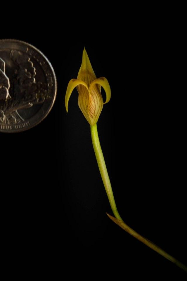 Trigonidium mini species-1305
