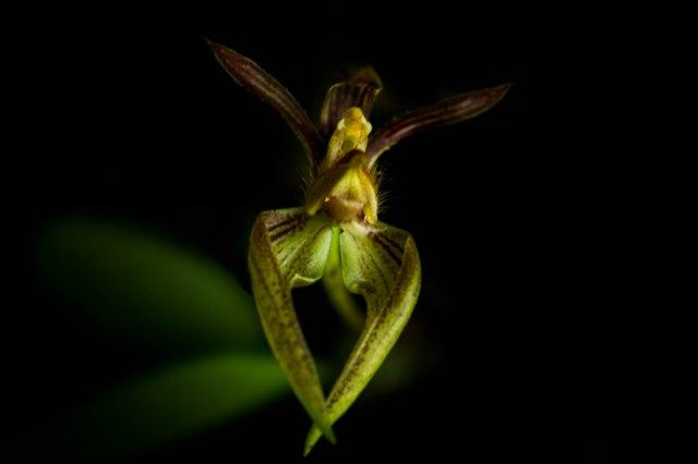 bulbophyllum-lasiochilium2