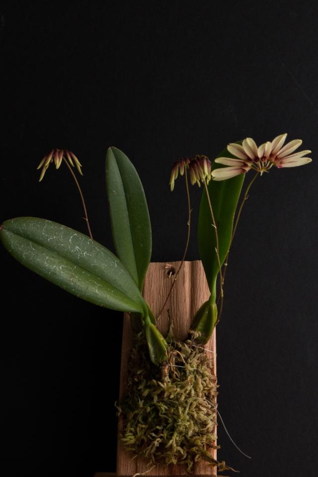 2017-february-bulbophyllum-makoyanum-1-3819