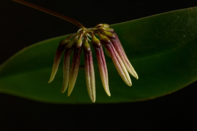 2017-february-bulbophyllum-makoyanum-2-3829