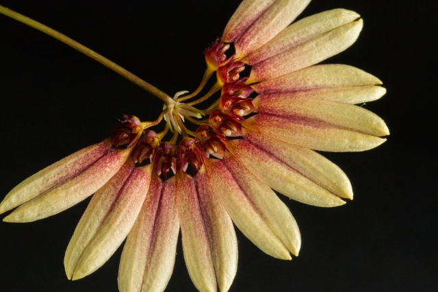 2017-february-bulbophyllum-makoyanum-3-3836