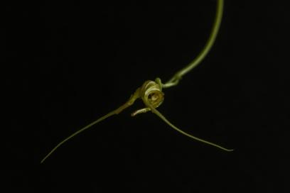 2017-february-scaphosepalum-cimex-2-3743