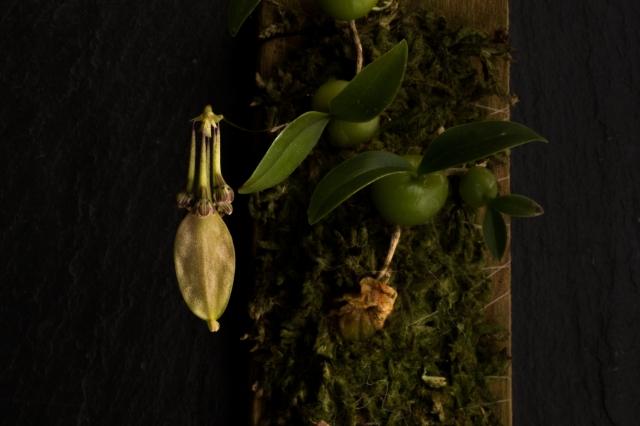 2018-April-Bulbophyllum physometrium-0985