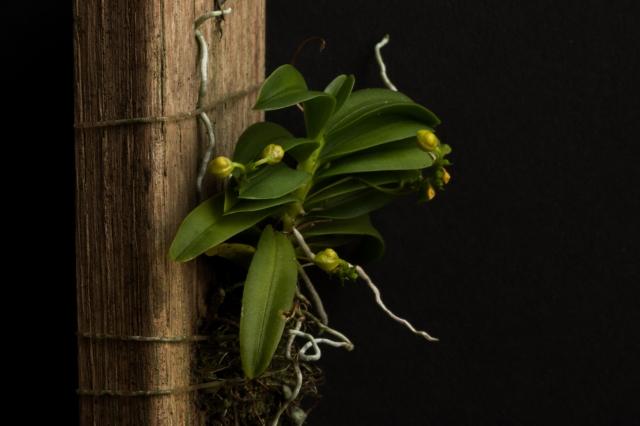 2018-May-Thrixspermum merguense-1278