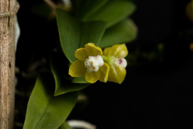 2018-May-Thrixspermum merguense-1291