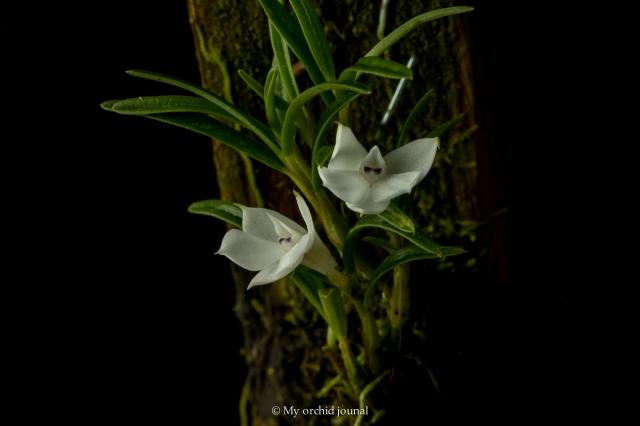 mini orchid