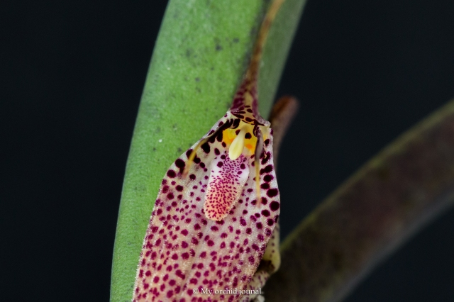 Restrepia chocoensis
